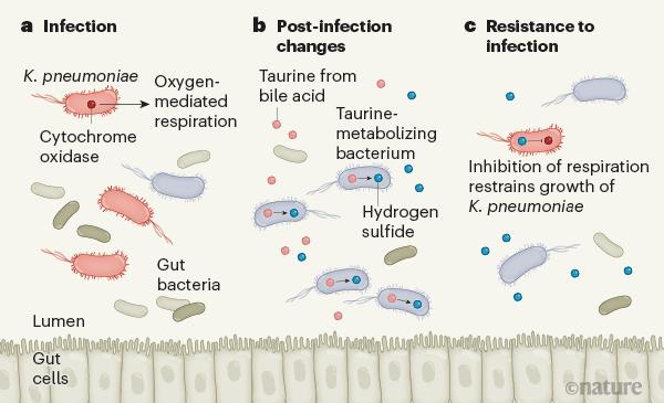 图1   肠道感染如何导致改变,从而增强防御能力。.png
