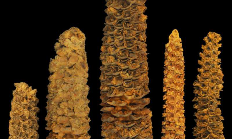 在洪都拉斯的El Gigante岩石庇护所发现了各种不同年龄的玉米芯.png