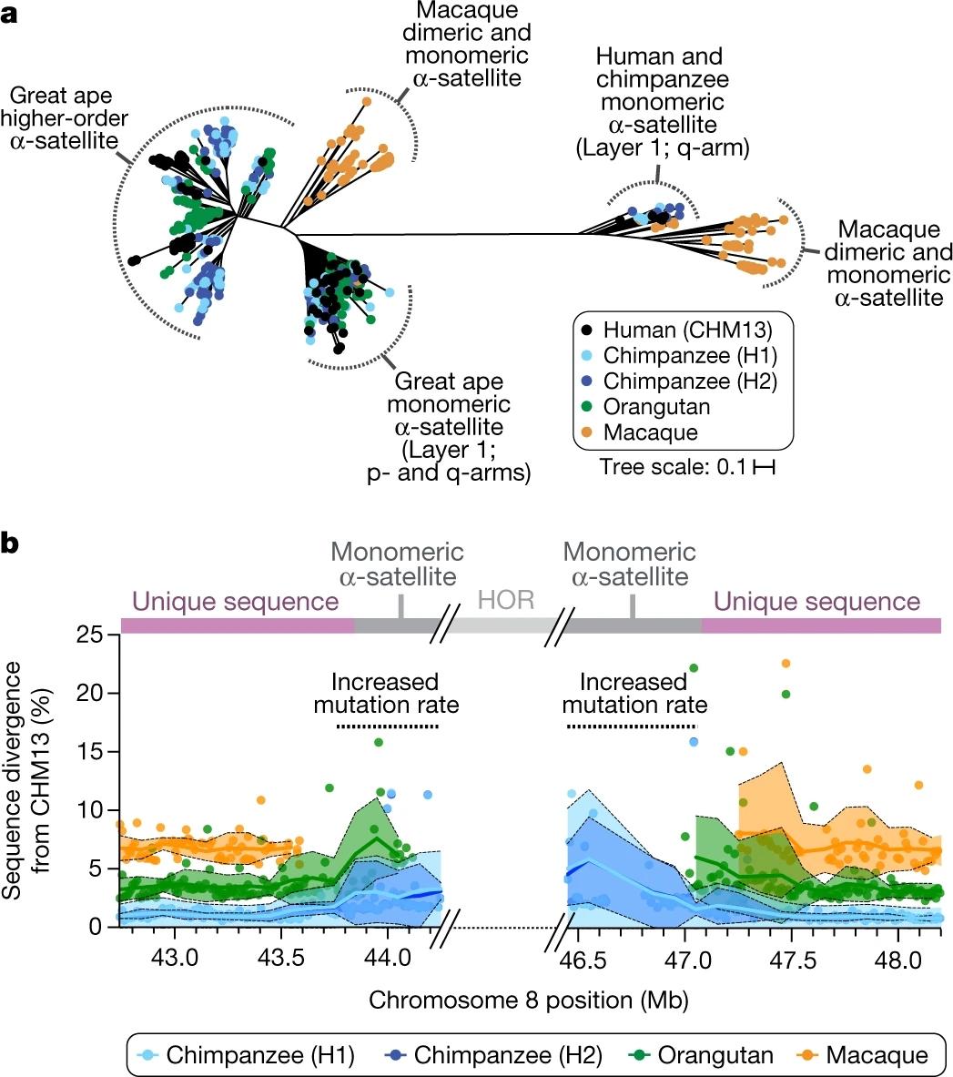 8号染色体着丝粒的进化.jpg