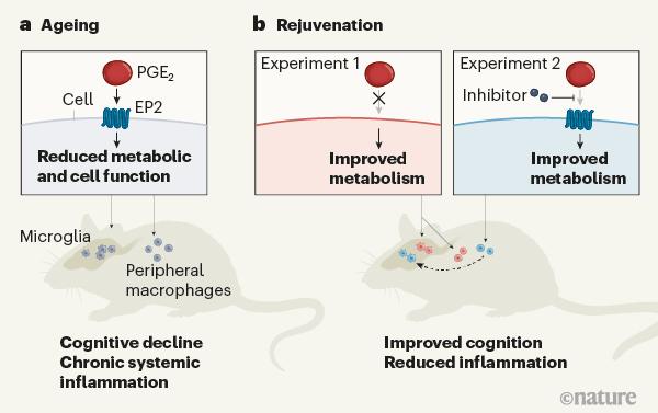 逆转衰老巨噬细胞的代谢关闭.png