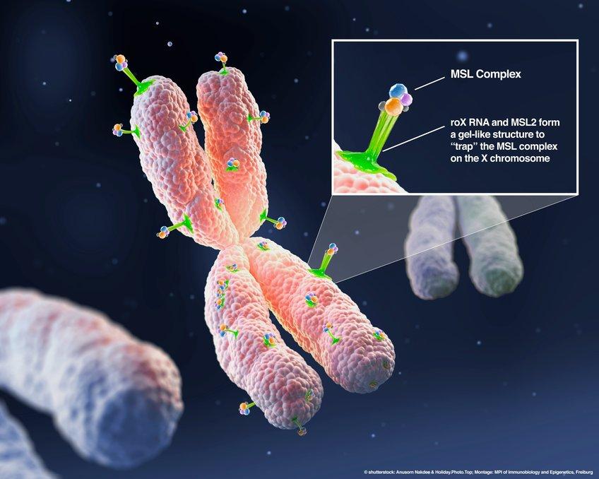 MSL2和仅由雄性X染色体合成的roX2 RNA形成了一种凝胶状的胶粘剂(绿色凝胶),可将果蝇MSL复合体特异性结合到果蝇的X染色体上.jpg