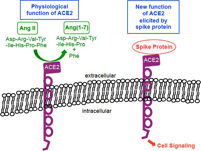 ACE2的生物学功能.png