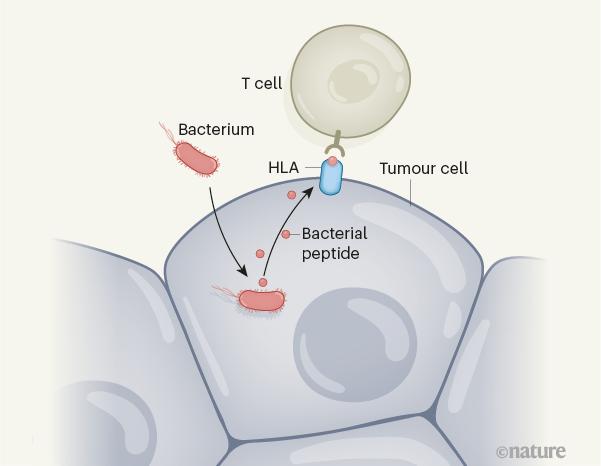 由细菌触发的抗肿瘤免疫的途径.png