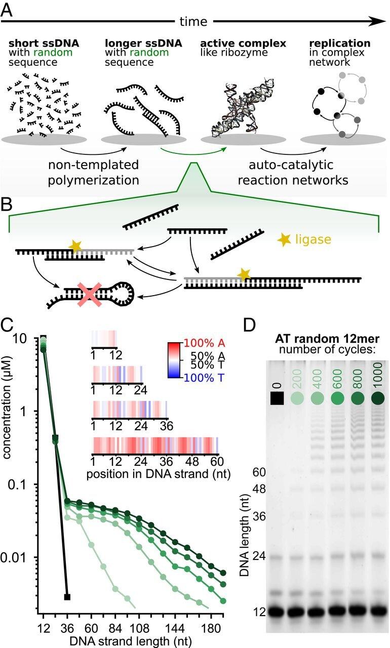 随机序列DNA 12-mers的模板化连接.jpg