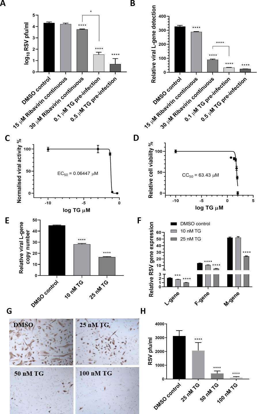 TG作为抗病毒药比利巴韦林更有效,显示出高选择性指数并阻止病毒转录和病毒蛋白产生。.png