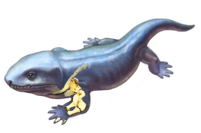 早期四足动物Pederpes的生命重建显示出皮肤下方的前肢骨骼.png