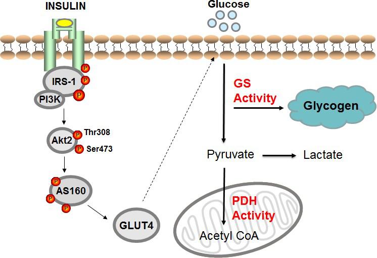 人体胰岛素刺激的骨骼肌葡萄糖代谢概述.png