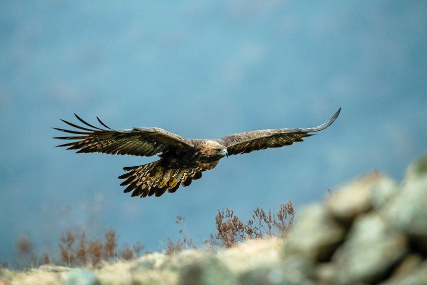 冬季过后,金鹰返回北极的繁殖地.jpg