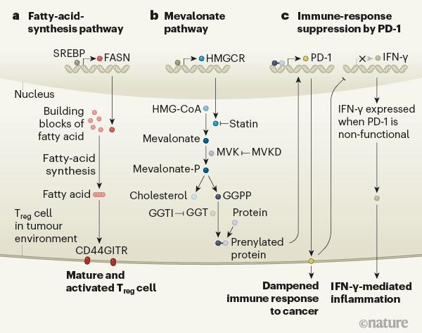 肿瘤微环境中调节性T细胞(T reg细胞)的关键途径.png