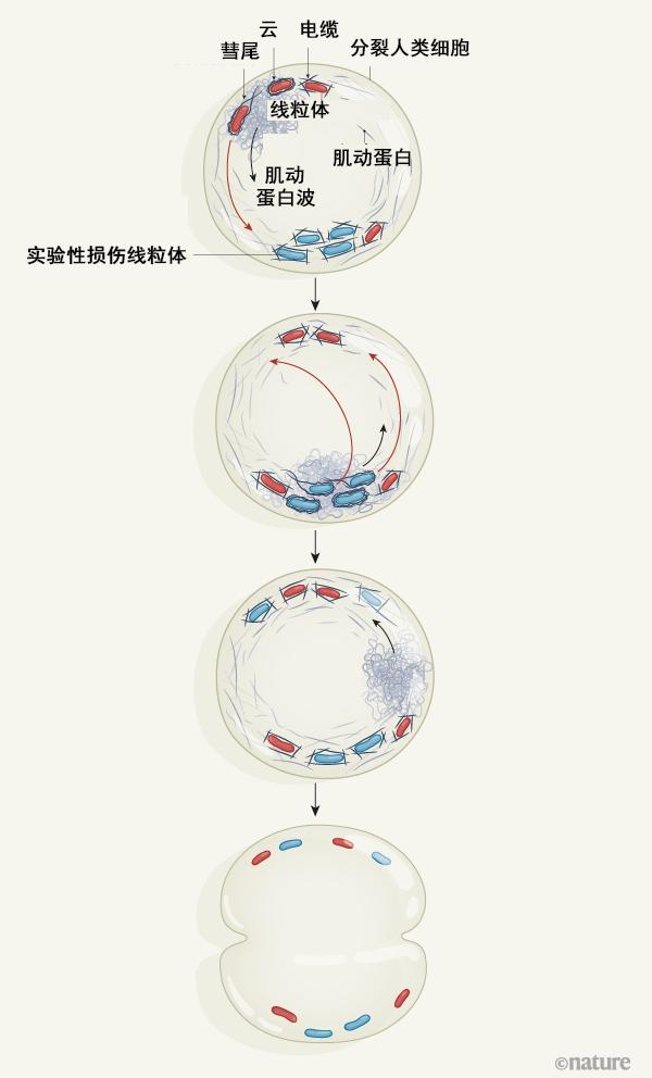 线粒体细胞器在细胞分裂过程中如何分布.png