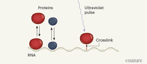一种探测细胞中RNA与蛋白质相互作用的方法。.png