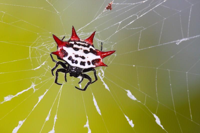 对多刺圆蛛的研究发现了两种科学以前未知的病毒.jpg