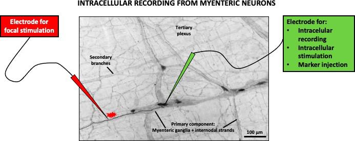 图2.肌层神经元的细胞内记录.png