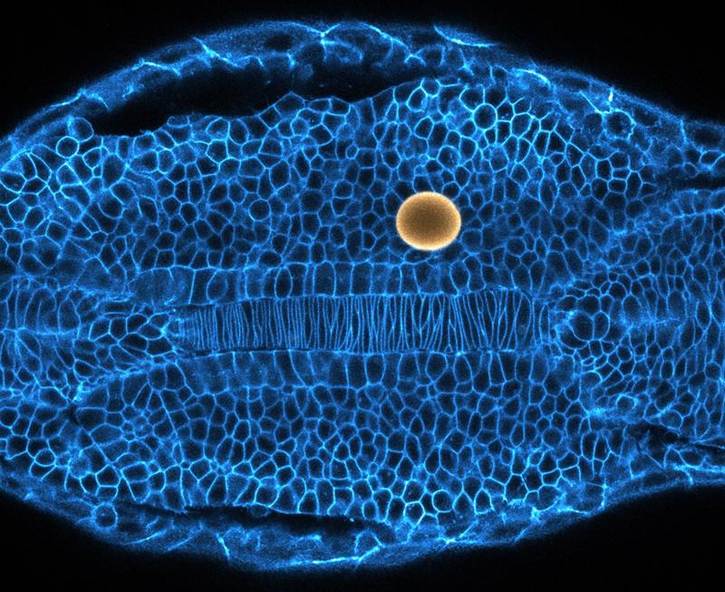 为了推动和拉动斑马鱼胚胎中的细胞,科学家将磁场中的磁滴(黄色)扭曲.png