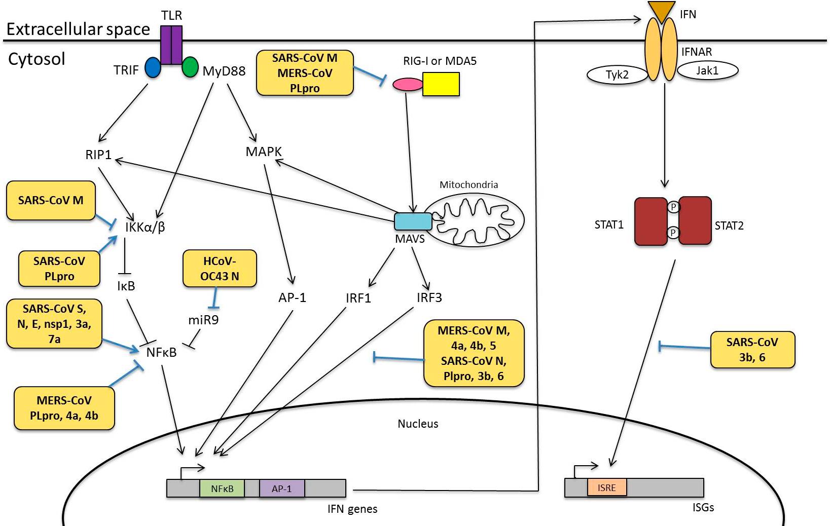 HCoV病毒蛋白对先天免疫的影响.png