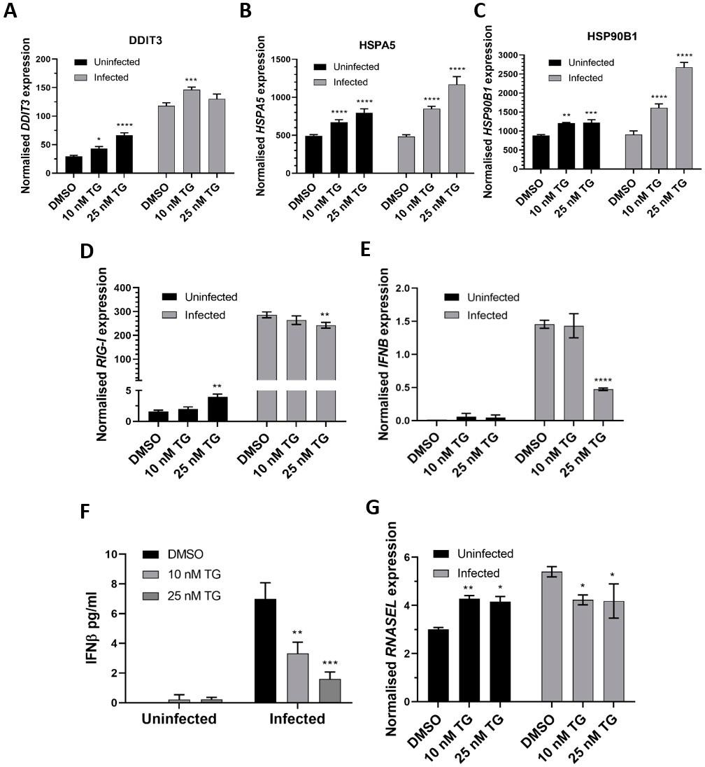 NHBE细胞的TG引发增加了ER应激基因的表达(感染前和感染后)和RIG-I信号传导相关基因的基础表达,但是在感染过程中,RIG-I关联基因的诱导是衰减。.png