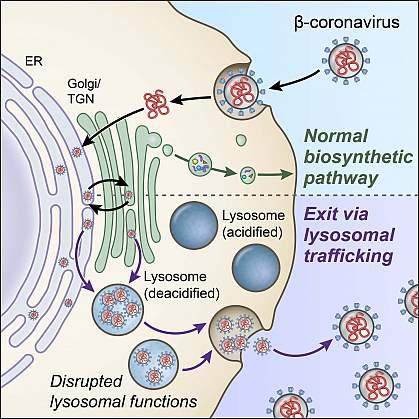 正常生物合成分泌途径(顶部)和溶酶体途径(底部)的成分,本研究发现冠状病毒可用于退出细胞.png