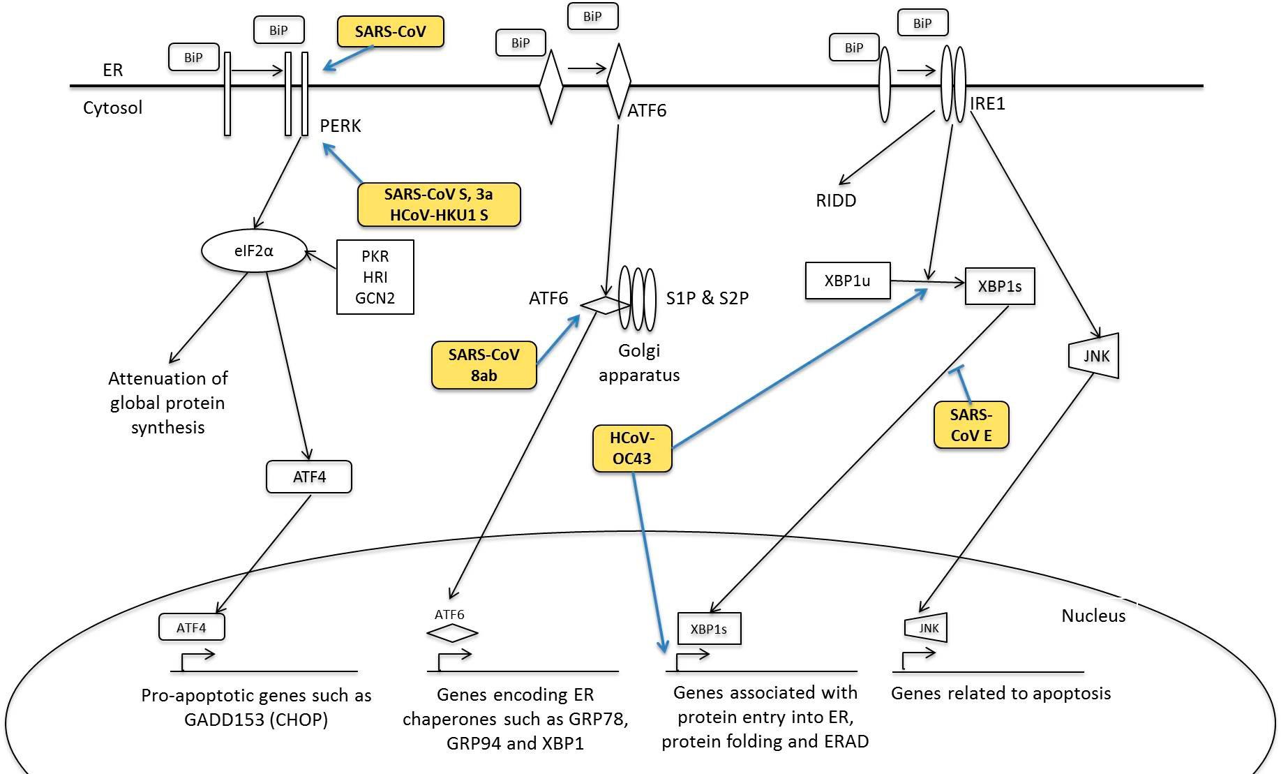 HCoV对内质网应激反应.png