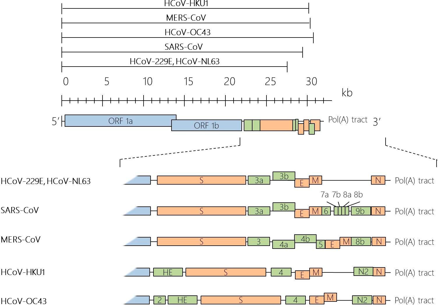 人类冠状病毒(HCoV)的基因组组织.png