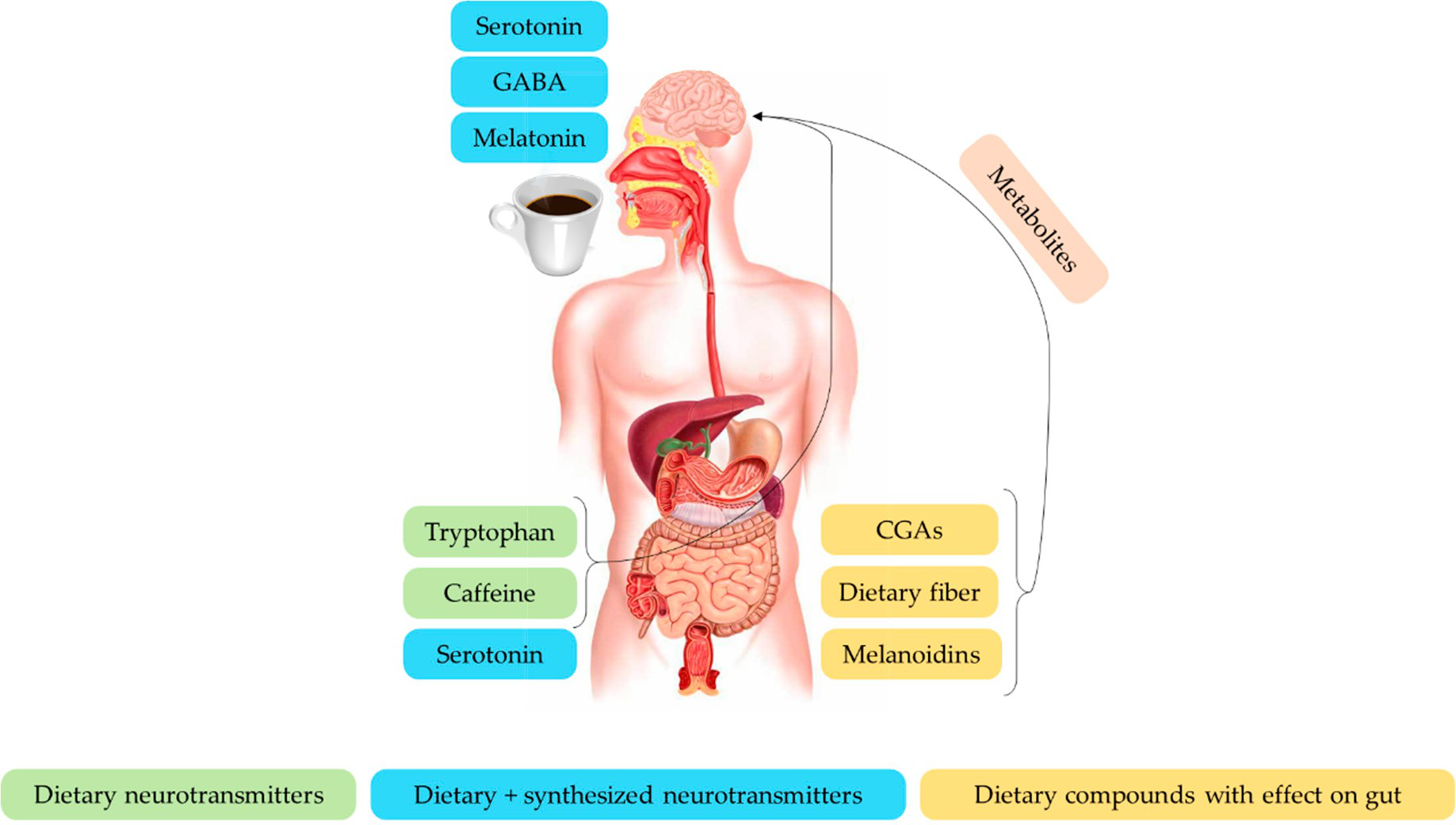 咖啡化合物对脑肠轴的影响.png